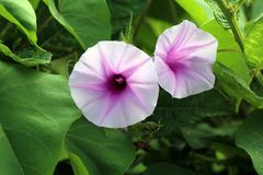Dos flores salvajes abiertas foto de archivo libre de regalías