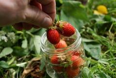 Dos fresas rojas en los fingeres sobre un tarro de cristal en la hierba fotos de archivo libres de regalías