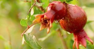 Dos frutas de la granada en rama después de la lluvia con descensos del agua encendido metrajes