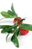 Dos frutas del arbutus. Imágenes de archivo libres de regalías