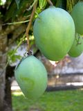Dos frutas, mangos alistan para ser cosechadas foto de archivo libre de regalías