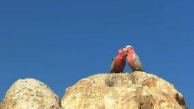 Dos galahs que se atusan en los pináculos en Australia occidental metrajes
