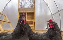 Dos gallinas Foto de archivo libre de regalías