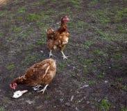 dos gallinas comen la cabeza del pato Alimentación de pollos delante de la vertiente Aduana de Vilage para alimentar la gallina fotos de archivo