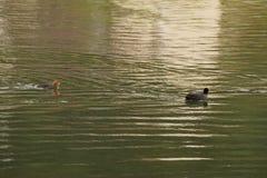 Dos gallinas de agua que nadan uno detrás del otro imágenes de archivo libres de regalías