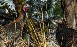 Dos gallinas de Turquía salvajes en noviembre Fotografía de archivo