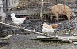 Dos gallinas que caminan en una escalera del pollo Imagenes de archivo