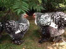 Dos gallinas que conversan Imagen de archivo libre de regalías