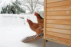 Dos gallinas que miran fijamente la nieve Fotografía de archivo libre de regalías