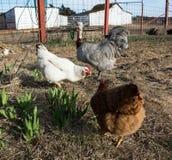 Dos gallinas y un gallo que picotean para la comida en jardín del corral fotos de archivo