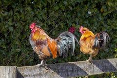 Dos gallos imagen de archivo libre de regalías