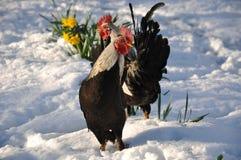 Dos gallos Fotos de archivo libres de regalías