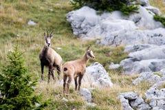 Dos gamuzas salvajes que se colocan en un campo, montaña del Jura, Francia Fotos de archivo libres de regalías