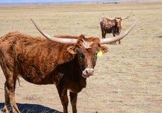 Dos ganado del fonolocalizador de bocinas grandes de Tejas hacia fuera en el campo, mirando en la cámara imagen de archivo
