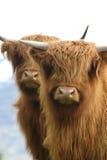 Dos ganado joven de la montaña Fotografía de archivo