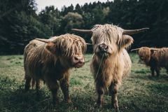 Dos ganado marrón de la montaña en fauna Imágenes de archivo libres de regalías