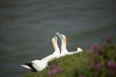 Dos gannets Fotografía de archivo