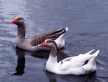 Dos gansos Imagen de archivo libre de regalías