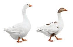 Dos gansos blancos Imágenes de archivo libres de regalías
