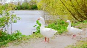 Dos gansos - camine como satisfacen foto de archivo libre de regalías