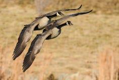 Dos gansos canadienses en vuelo Foto de archivo libre de regalías