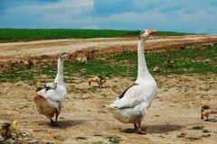 Dos gansos con los ansarones Imagen de archivo