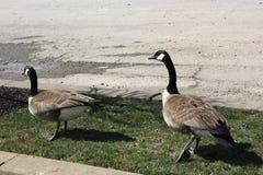 Dos gansos de Canadá en Wilmington, Delaware imagenes de archivo