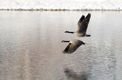 Dos gansos de Canadá que llevan el vuelo de un lago winter Fotos de archivo