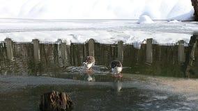 Dos gansos de ganso silvestre de la parte posterior metrajes