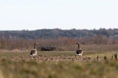 Dos gansos de ganso silvestre en un campo fotografía de archivo