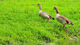 Dos gansos egipcios Foto de archivo libre de regalías