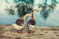 Dos gansos en el lago Foto de archivo