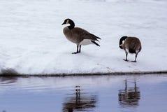 Dos gansos en el lago Nipissing imagenes de archivo