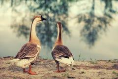 Dos gansos en la orilla del lago Imágenes de archivo libres de regalías