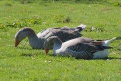 Dos gansos grises que comen uno al lado del otro Imagen de archivo