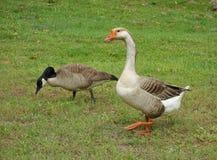 Dos gansos que caminan en hierba Foto de archivo libre de regalías