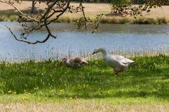 Dos gansos que pastan la hierba verde cerca de una charca, lago el día soleado imagen de archivo libre de regalías