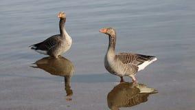 Dos gansos que se colocan en un lago almacen de video