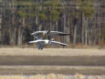 Dos gansos que se deslizan al aterrizaje Fotografía de archivo libre de regalías