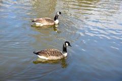 dos gansos salvajes en el lago Imagen de archivo libre de regalías