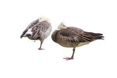 Dos gansos se colocan en una pierna en un fondo blanco Fotografía de archivo
