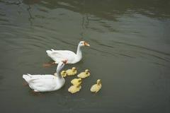 Dos gansos y pequeños ansarones que nadan en la charca Imágenes de archivo libres de regalías
