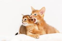 Dos gatitos abisinios que juegan junto Imagen de archivo libre de regalías