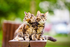 Dos gatitos adorables del mapache de Maine Imagen de archivo