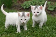 Dos gatitos blancos imagen de archivo libre de regalías