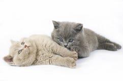 Dos gatitos británicos Foto de archivo