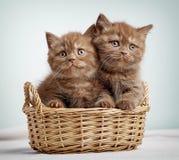 Dos gatitos británicos marrones del shorthair fotografía de archivo