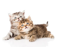 Dos gatitos británicos que miran para arriba Aislado en el fondo blanco Imágenes de archivo libres de regalías