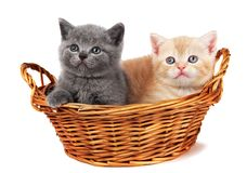 Dos gatitos británicos en una cesta Foto de archivo