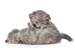 Dos gatitos británicos juguetones del shorthair Aislado en blanco Foto de archivo